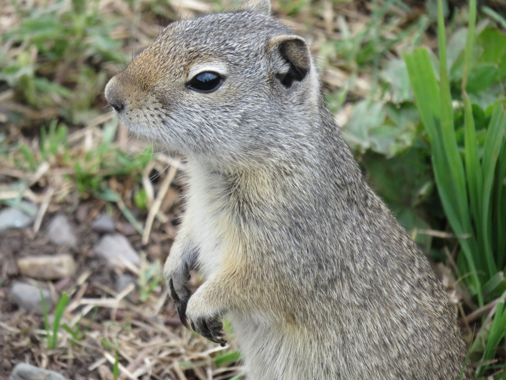 close up of face of ground squirrel